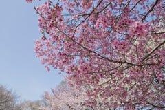 Blomningar för körsbärsrött träd Royaltyfria Bilder