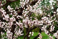 Blomningar för körsbärsrött träd Arkivbilder