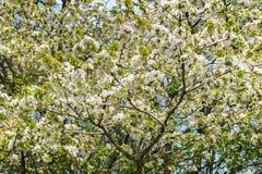 Blomningar för körsbärsrött träd med vita blommor på en solig dag för vår fotografering för bildbyråer