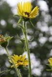 Blomningar för kompassväxt Royaltyfria Bilder