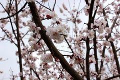 Blomningar för mandelträd Arkivbild