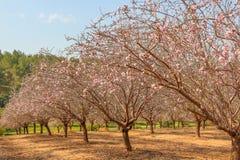 Blomningar för mandelträd Royaltyfria Bilder