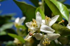 Blomningar för orange träd Royaltyfri Fotografi