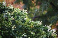 Blomningar för orange träd Arkivfoton