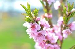 Blomningar för persikaträd Arkivbild