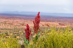Blomningar för röd Amaranth, med Arizona ökenbakgrund Royaltyfria Foton