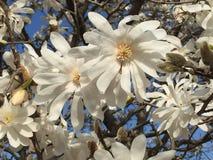 Blomningar för träd för stjärnamagnolia och blå himmel Arkivbilder