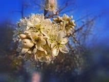 Blomningar för träd för lös plommon på våren Magisk vårsäsong Royaltyfri Fotografi