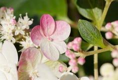 Blomningar för vanlig hortensiaglasscoupe med garneringfraise Royaltyfria Foton