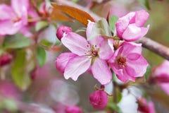 Blomningar för blomningCrabapple träd Fotografering för Bildbyråer