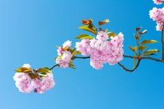 Blomningar för rosa färger för blommasakura vår Arkivfoto