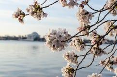 Blomningar och Jefferson Memorial för DC körsbärsröda Royaltyfri Bild