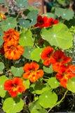 Blomningar och sidor av källkrasse eller Nasturium Arkivbilder