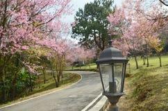 Blomningarna för rosa färger för vår för lampbakgrundsblommor Royaltyfria Bilder