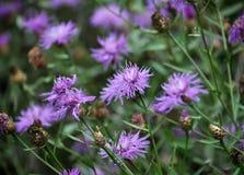 Blomningblåklint med purpurfärgad bild av blommor Fotografering för Bildbyråer