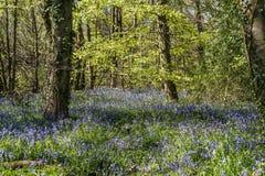 Blomningblåklockor i blåklockaträna Royaltyfria Bilder
