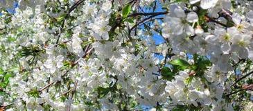 Blomningblom av körsbäret på våren Vita sakura blommar på himmelbakgrund Horisontaltitelrad arkivfoto