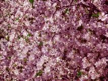 Blomningblom av körsbäret på våren Vita sakura blommar på himmelbakgrund i rosa färgton royaltyfria foton
