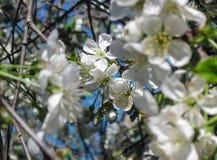 Blomningblom av körsbäret på våren Vita sakura blommar på himmelbakgrund Vertikal mobil tapet royaltyfria foton