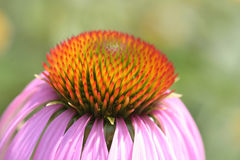 blomningblomma Royaltyfri Foto