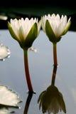blomningblommalotusblomma Royaltyfri Fotografi