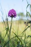 Blomningblomman från gräsrötter jämnar Royaltyfri Bild