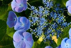 blomningbluevanlig hortensia royaltyfria foton