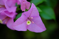 Blomningbougainvillea arkivbild
