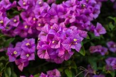 Blomningbougainvilleafilialer Royaltyfri Bild