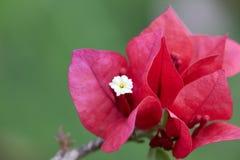 Blomningbougainvilleamakro Arkivfoton