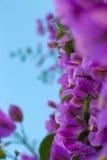 Blomningbougainvillean förgrena sig mot himlen Arkivfoto