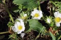 Blomningbuskar arkivfoto