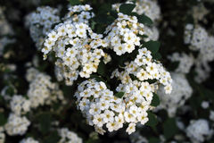 Blomningbuskar royaltyfria bilder