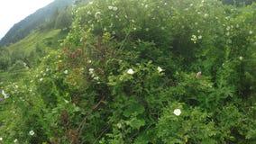 Blomningbuskar av löst steg stock video