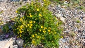 Blomningbuskar bland stenarna royaltyfria foton