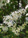 Blomningbuskar luktar så sött arkivfoton