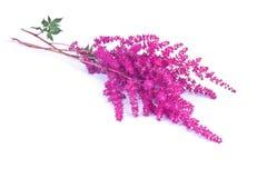 Blomningbuske Astilba Arkivfoton