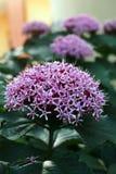 Blomningbuske av den Clerodendrum bungeien arkivbilder