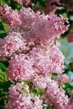 Blomningbuske av härliga lilor Royaltyfria Bilder