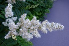 Blomningbuske i sommar Fotografering för Bildbyråer