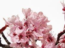 blomningCherry Arkivfoto