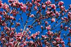blomningCherry Arkivbild