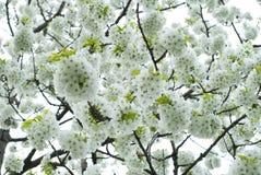 blomningCherry Royaltyfri Foto