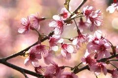 blomningCherry Fotografering för Bildbyråer