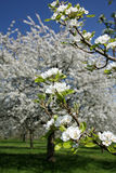 blomningCherry Royaltyfria Bilder