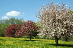 blomningCherry Arkivbilder