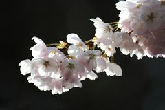 blomningCherry Arkivfoton