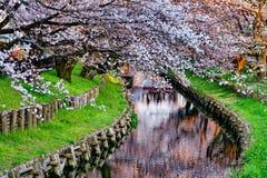 blomningCherry japan Arkivfoto