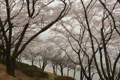 blomningCherry södra korea Arkivbilder
