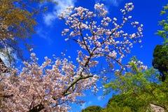 blomningCherry sakura Arkivfoton